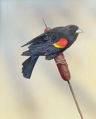 Marsh Melody - Red-Winged Black Bird by Raymond Easton