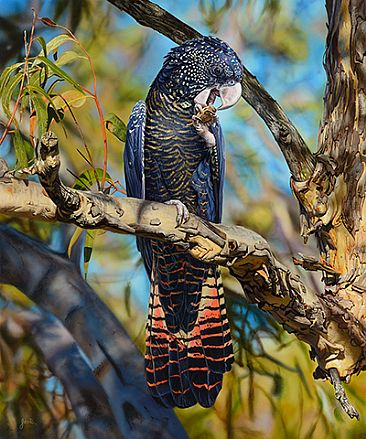 COCKATOO CANAPES - RED TAILED BLACK COCKATOO_FEMALE by Stephen Jesic