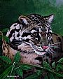 Missing link - Clouded leopard portrait by Pat Watson&nbsp(2)