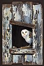 The Old Barn - Barn Owl by Pollyanna Pickering&nbsp(2)