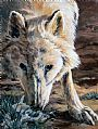 Arctic Wolf Study - Arctis Wolf by RoseMarie Condon&nbsp(2)