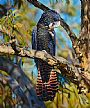COCKATOO CANAPES - RED TAILED BLACK COCKATOO_FEMALE by Stephen Jesic&nbsp(2)