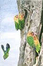 Lovebirds of Tanzania  - Fischer's lovebirds are from Tanzania by Linda DuPuis-Rosen&nbsp(2)