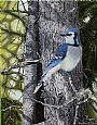 Forest Veil - Bluejay - Bluejay by Ron Plaizier&nbsp(2)