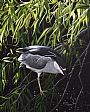 The Watch - Black Crowned Night Heron by James Kiesow&nbsp(2)