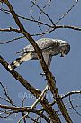 Tanglewood - Gray Hawk by Anne Peyton&nbsp(2)